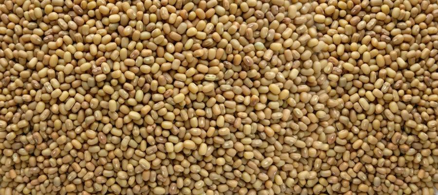 Moth-Bean-exporter-india